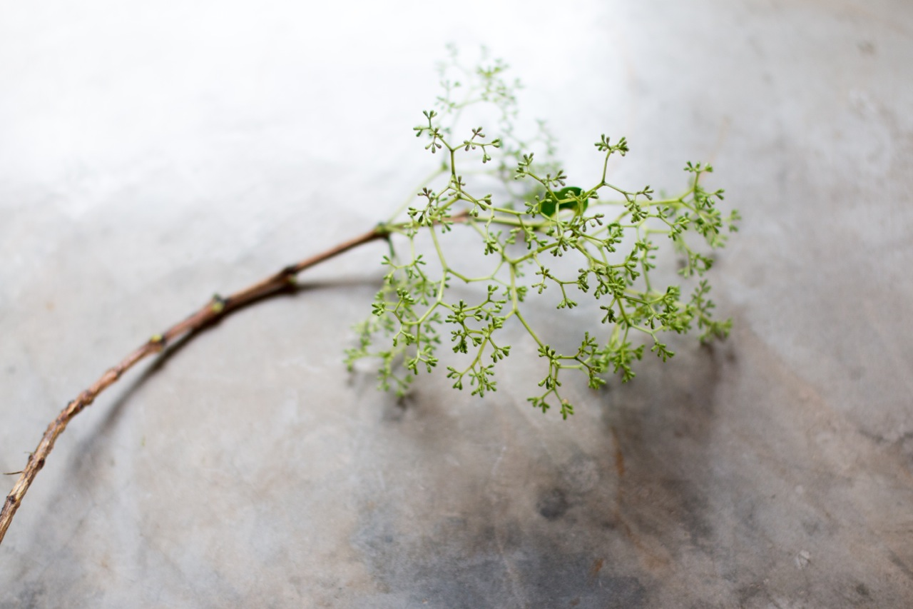 Nuxia year round , fuller and open into white flower April /May