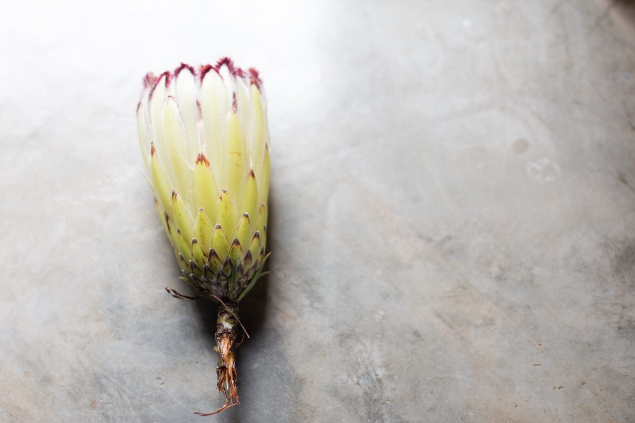 Limelight Protea Yellow/Green in colour  (enquire about availability)